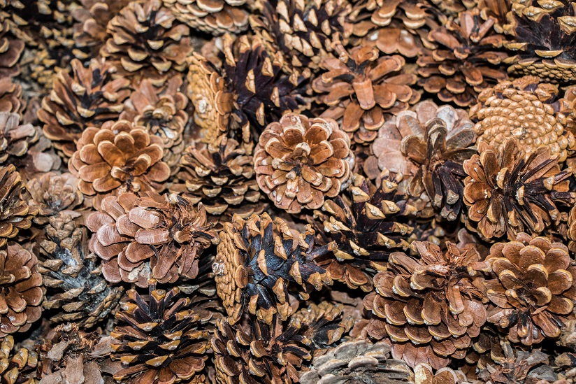 pine cones on a forest floor