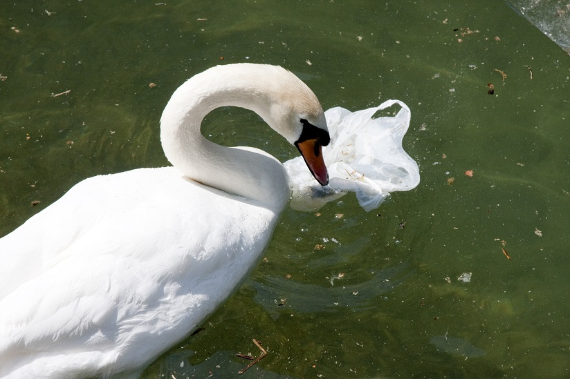 swan in lake with single use plastic bag